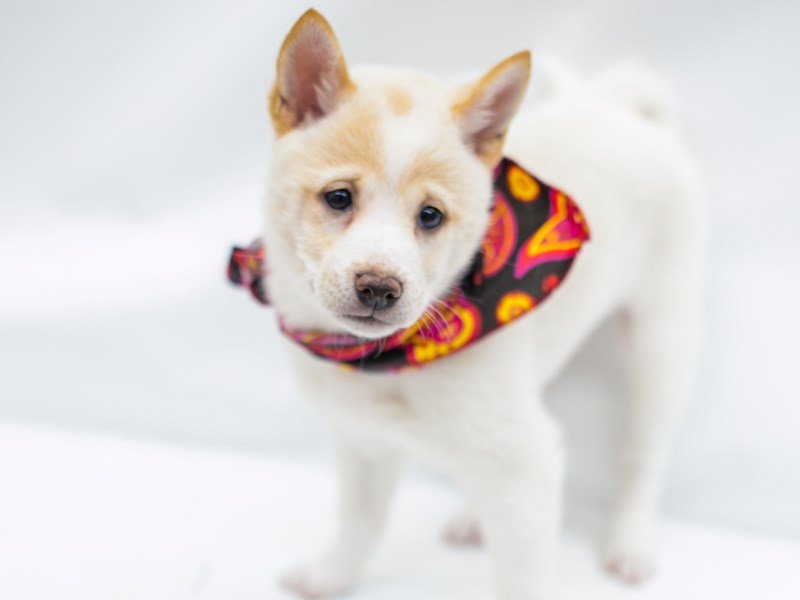Shiba Inu-Female-White Cream-2571737-Petland Wichita, KS