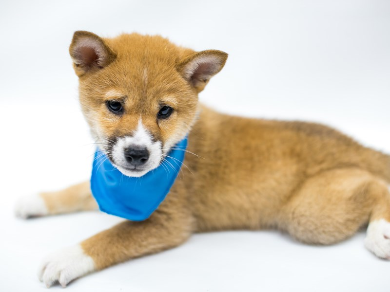 Shiba Inu-Male-Red Sesame-2574814-Petland Wichita, KS