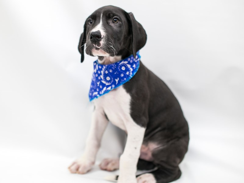 Great Dane-Male-Black and White Mantle-2575454-Petland Wichita, KS