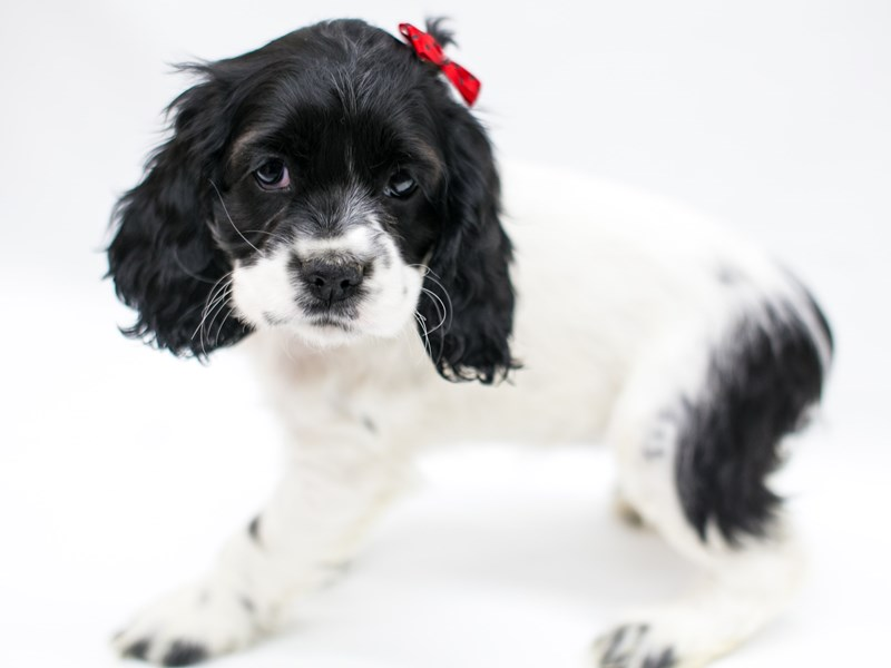 Cocker Spaniel-Female-Black & White-2575755-Petland Wichita, KS