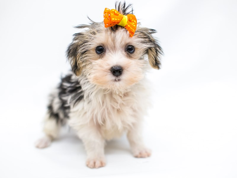 Morkie-Male-Tri Parti-2575860-Petland Wichita, KS
