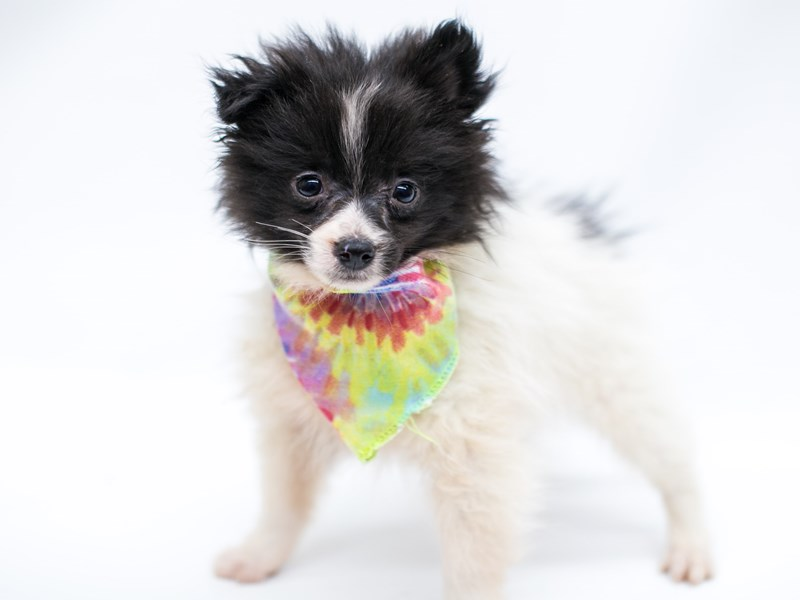 Pomeranian-Male-Black & White-2575870-Petland Wichita, KS