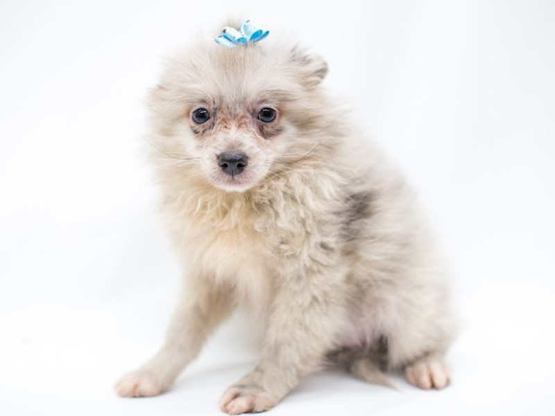 Pomeranian-Female-Blue Merle-2575878-Petland Wichita, KS