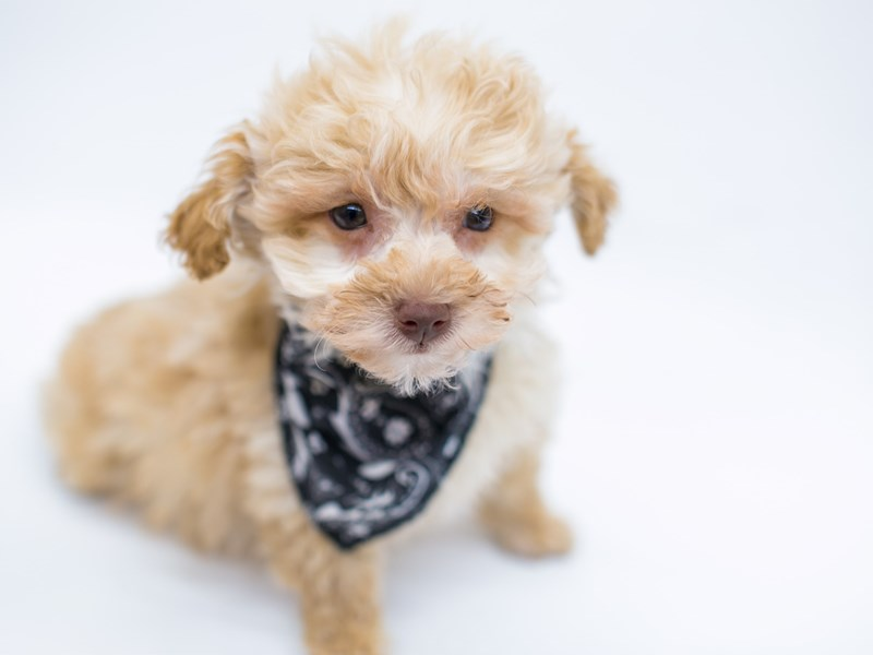 Toy Poodle-Male-Red-2575890-Petland Wichita, KS