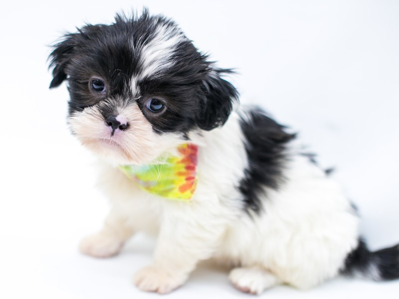 Shih Tzu-Male-Black & White-2575900-Petland Wichita, KS
