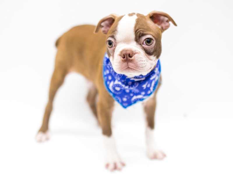 Boston Terrier-Male-Red & White-2575908-Petland Wichita, KS