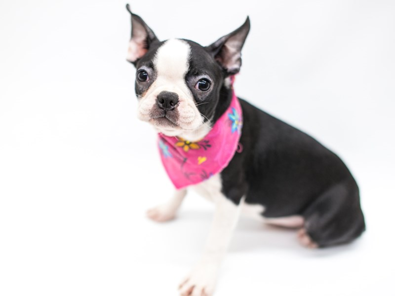 Boston Terrier-Female-Black & White-2575921-Petland Wichita, KS