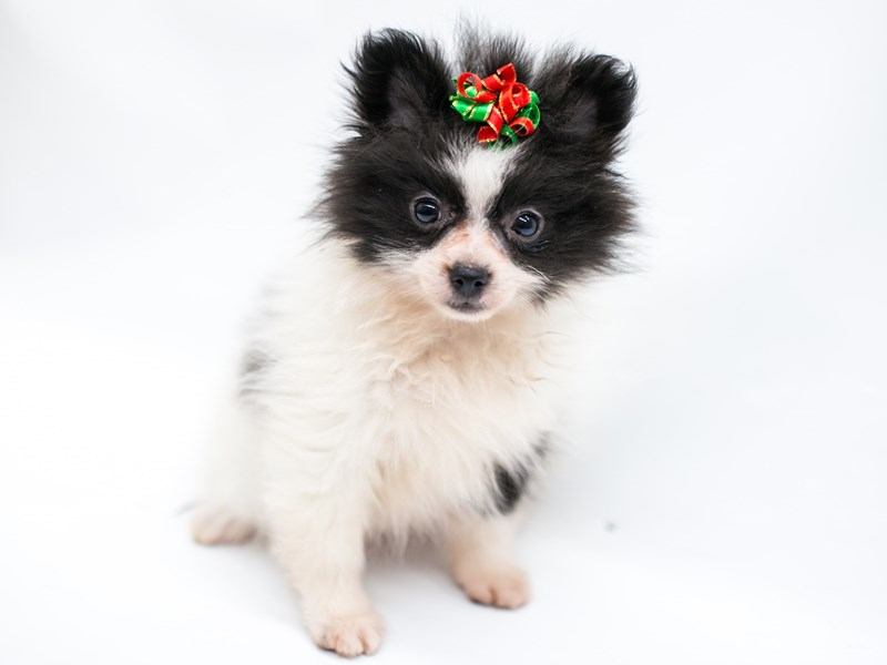 Pomeranian-Female-Black & White-2576009-Petland Wichita, KS