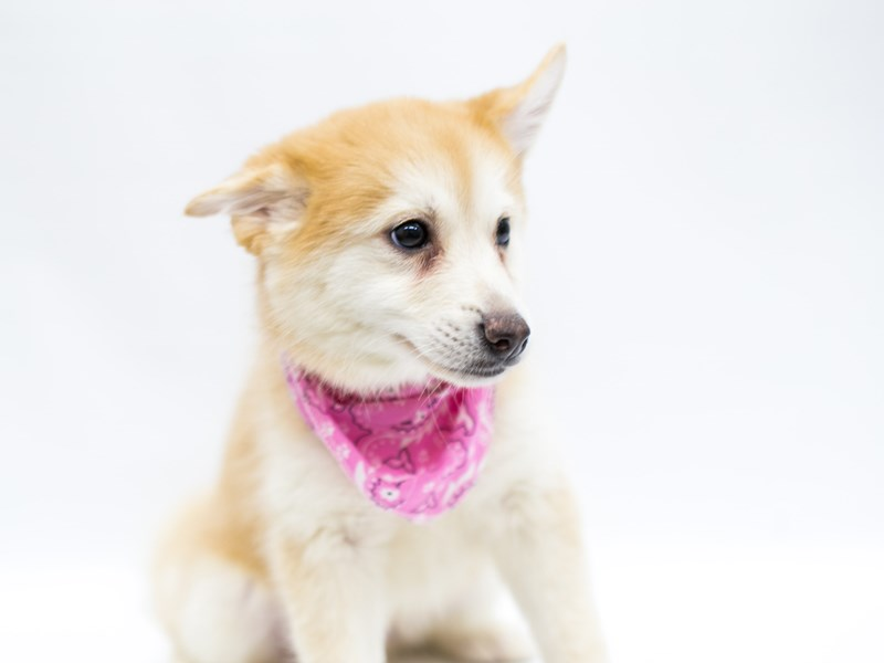 Pomsky-Female-Red & White-2583147-Petland Wichita, KS