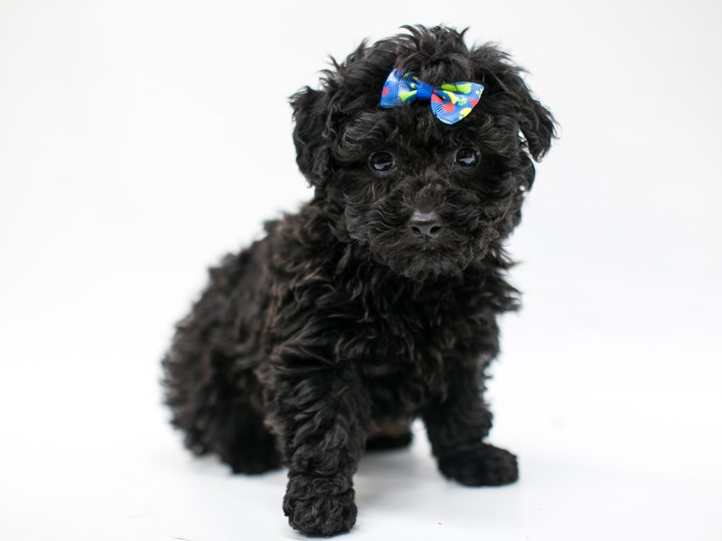 Toy Poodle-Male-Black-2582750-Petland Wichita, KS