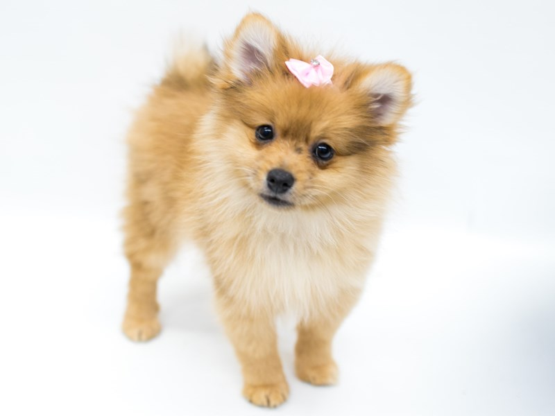 Pomeranian-Female-Red-2582719-Petland Wichita, KS