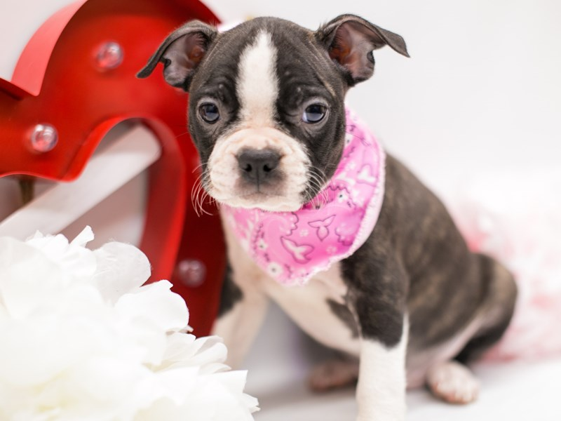 Boston Terrier-Female-Brindle-2590630-Petland Wichita, KS