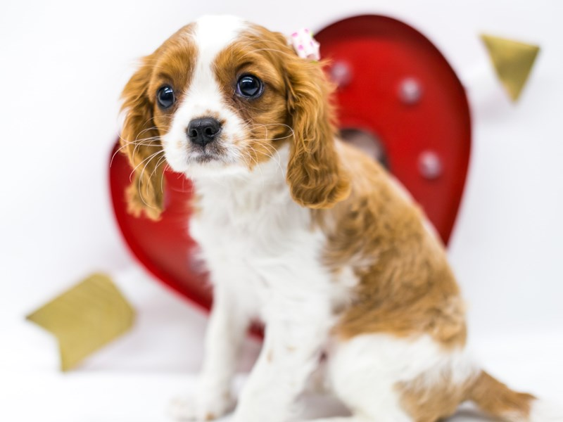 Cavalier King Charles Spaniel-Female-Blenheim-2590566-Petland Wichita, KS