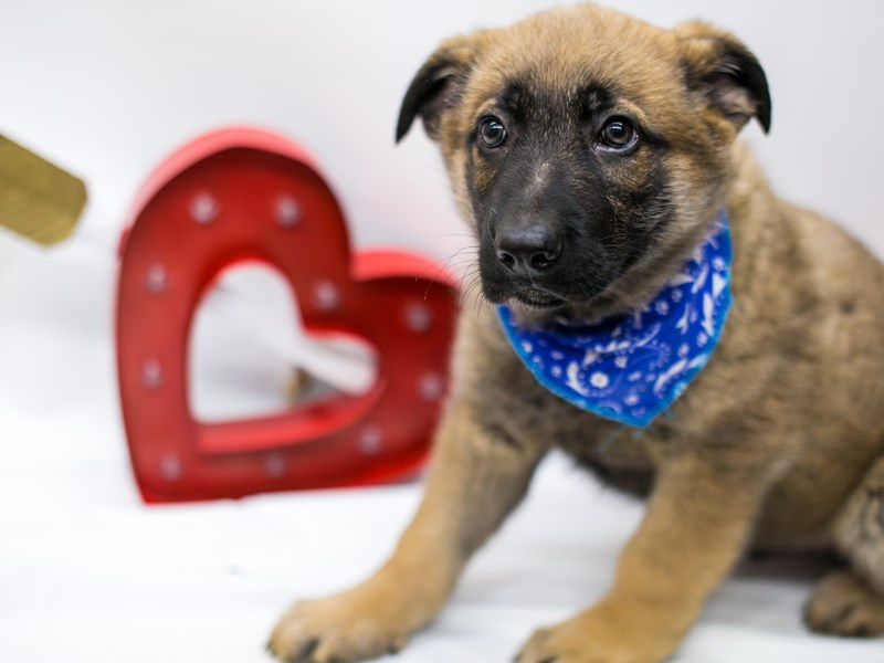 German Shepherd-Male-Sable-2590026-Petland Wichita, KS