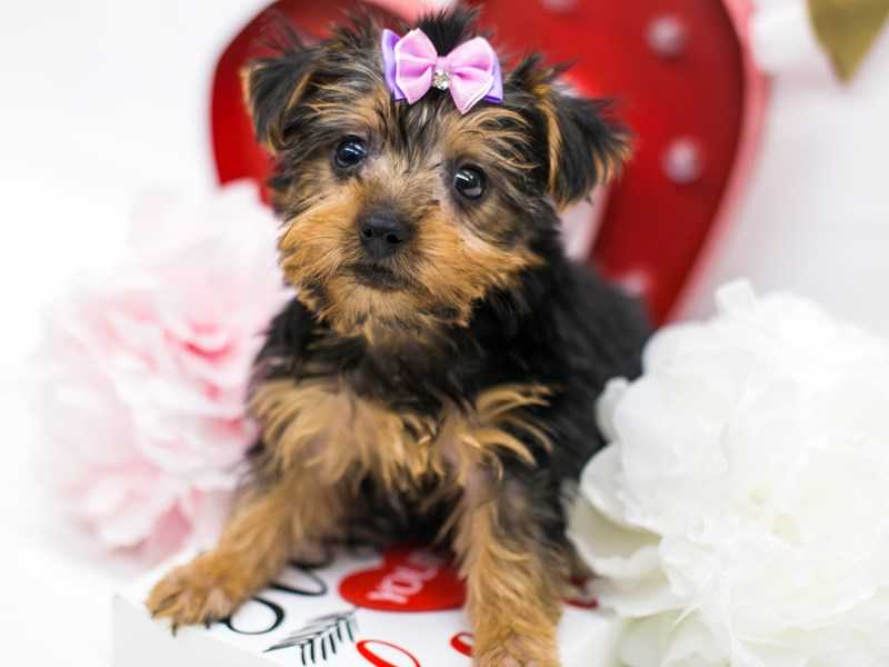 Yorkshire Terrier-Female-Black & Gold-2598484-Petland Wichita, KS