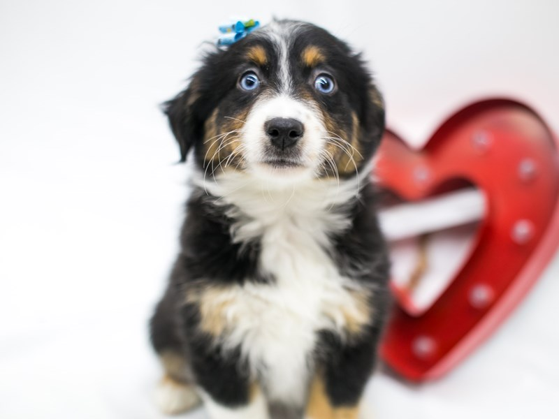 Miniature Australian Shepherd-Female-Black Tri-2598430-Petland Wichita, KS