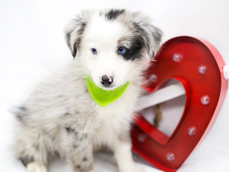 Miniature Australian Shepherd-Male-Blue Merle-2598426-Petland Wichita, KS