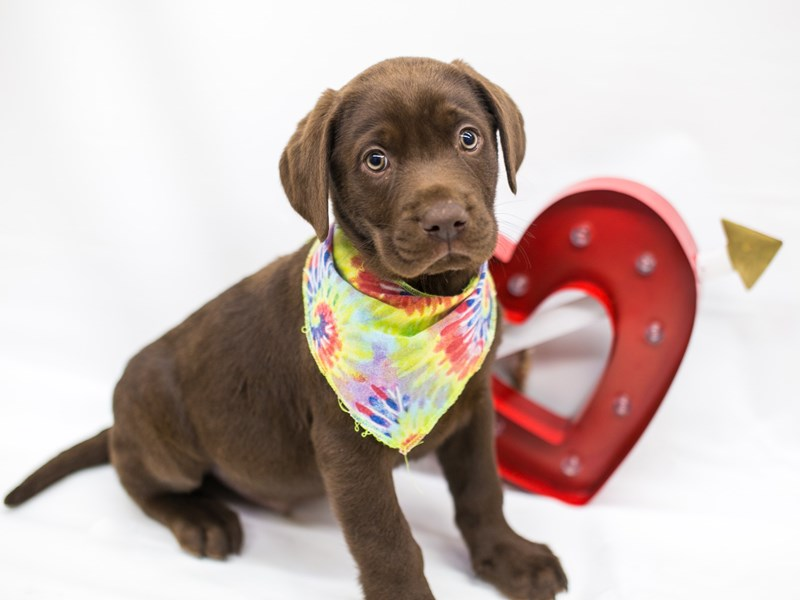 English Labrador Retriever-Male-Chocolate-2596674-Petland Wichita, KS