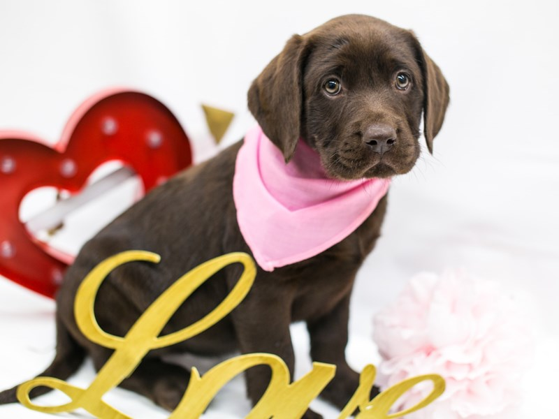 English Labrador Retriever-Female-Chocolate-2596672-Petland Wichita, KS