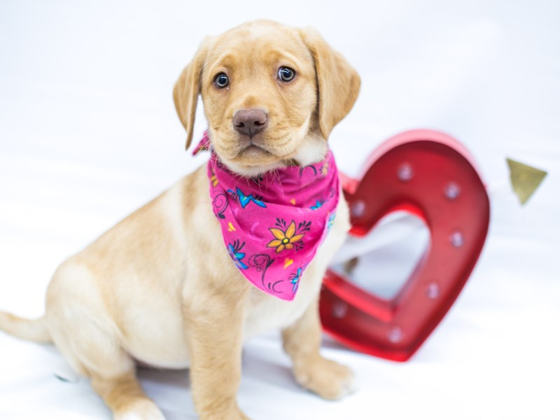 English Labrador Retriever-Female-Yellow-2596671-Petland Wichita, KS