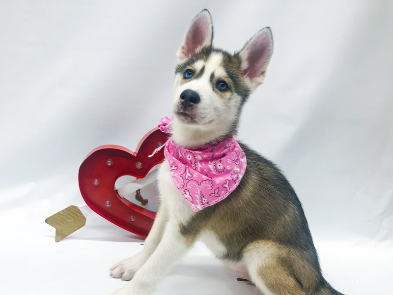 Siberian Husky-Female-Silver & White-2605079-Petland Wichita, KS
