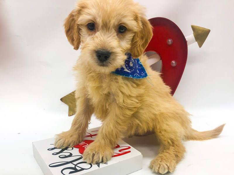 Miniature Goldendoodle-Male-Gold-2606154-Petland Wichita, KS