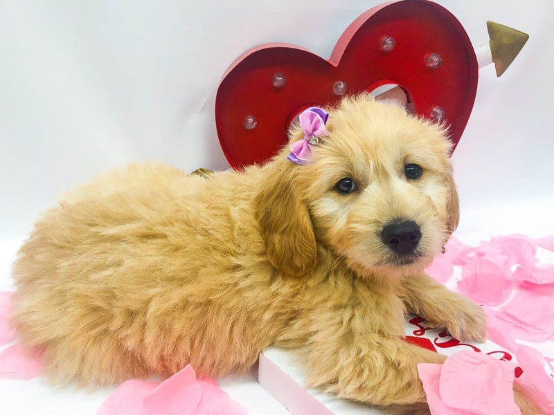 Miniature Goldendoodle-Female-Gold-2606163-Petland Wichita, KS