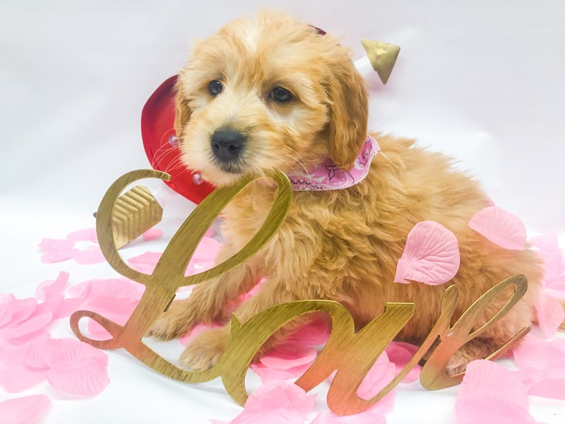 Miniature Goldendoodle-Female-Gold-2606170-Petland Wichita, KS