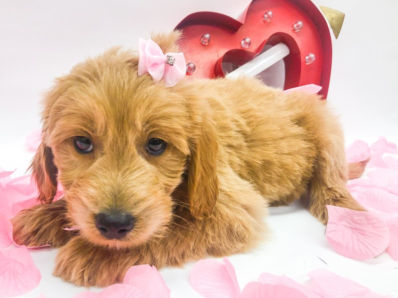 Miniature Goldendoodle-Female-Gold-2606162-Petland Wichita, KS