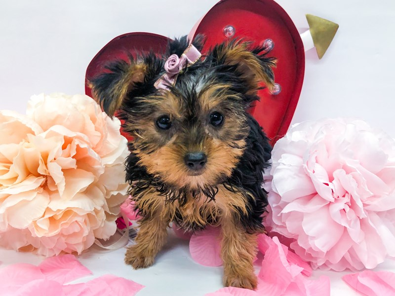 Yorkshire Terrier-Female-Black & Tan-2606442-Petland Wichita, KS