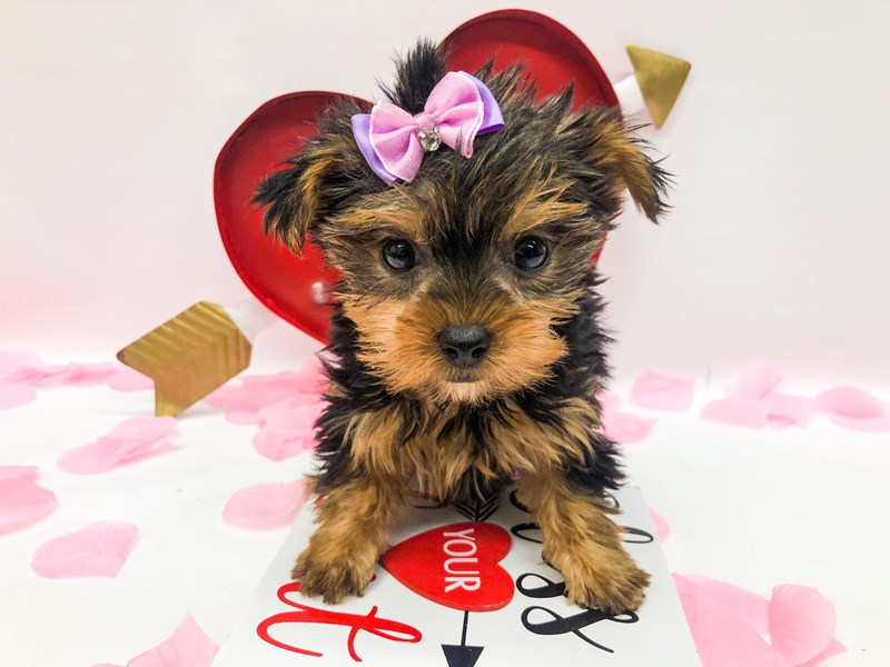 Yorkshire Terrier-Female-Black & Tan-2606444-Petland Wichita, KS