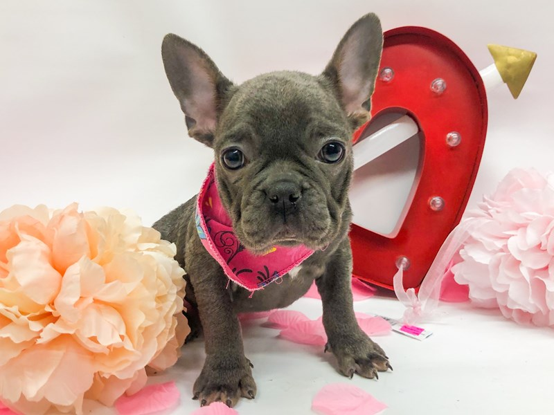 French Bulldog-DOG-Female-Blue-2606454-Petland Wichita, KS