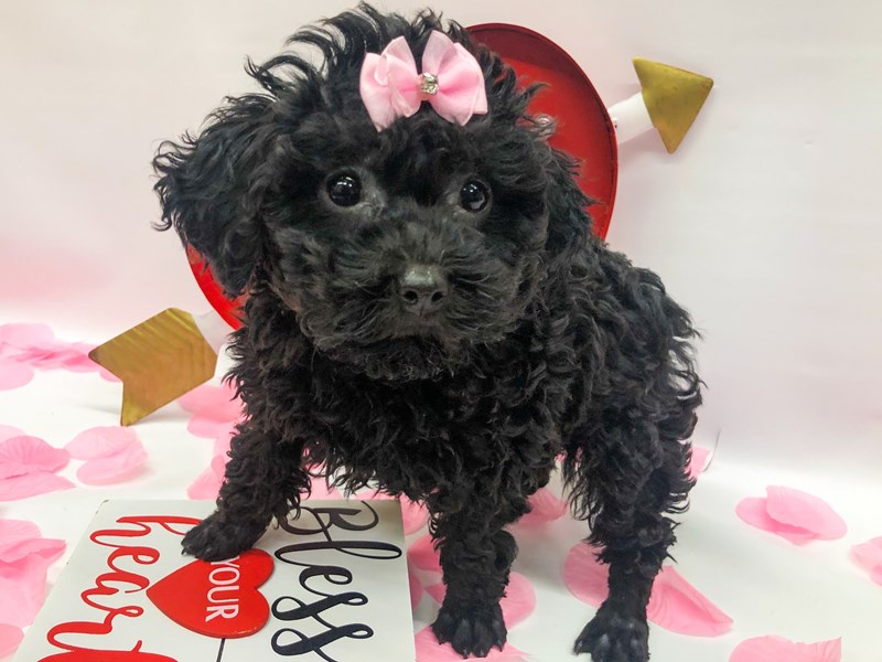 Miniature Poodle-Female-Black-2606462-Petland Wichita, KS