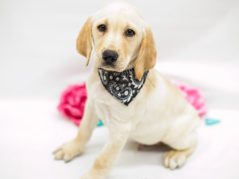 English Labrador Retriever-Male-Yellow-2613277-Petland Wichita, KS