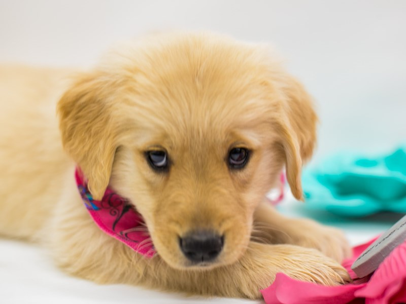 Golden Retriever-Female-Golden-2613276-Petland Wichita, KS