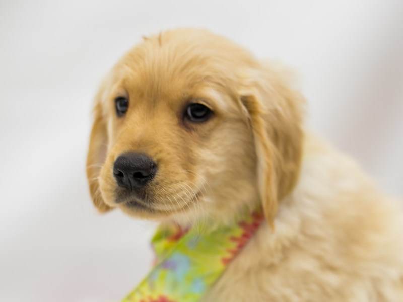 Golden Retriever-Male-Golden-2613252-Petland Wichita, KS