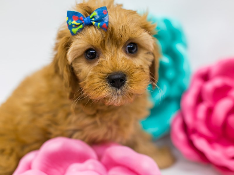 Cavapoo-Female-Red-2613325-Petland Wichita, KS