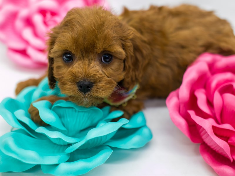 Cavapoo-Male-Red-2613320-Petland Wichita, KS