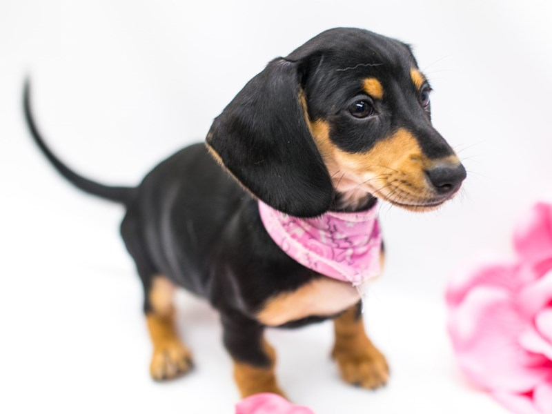 Miniature Dachshund-Female-Black and Tan-2620481-Petland Wichita, KS
