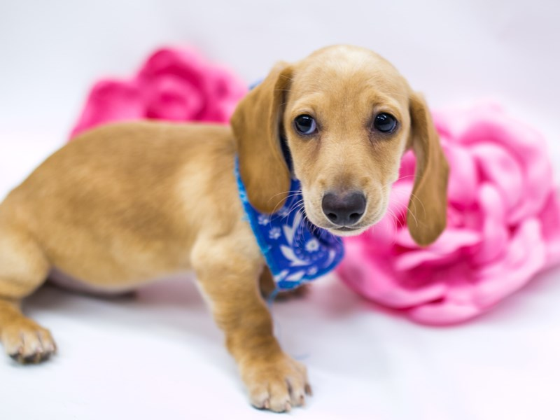 Miniature Dachshund-Male-Cream-2620472-Petland Wichita, KS