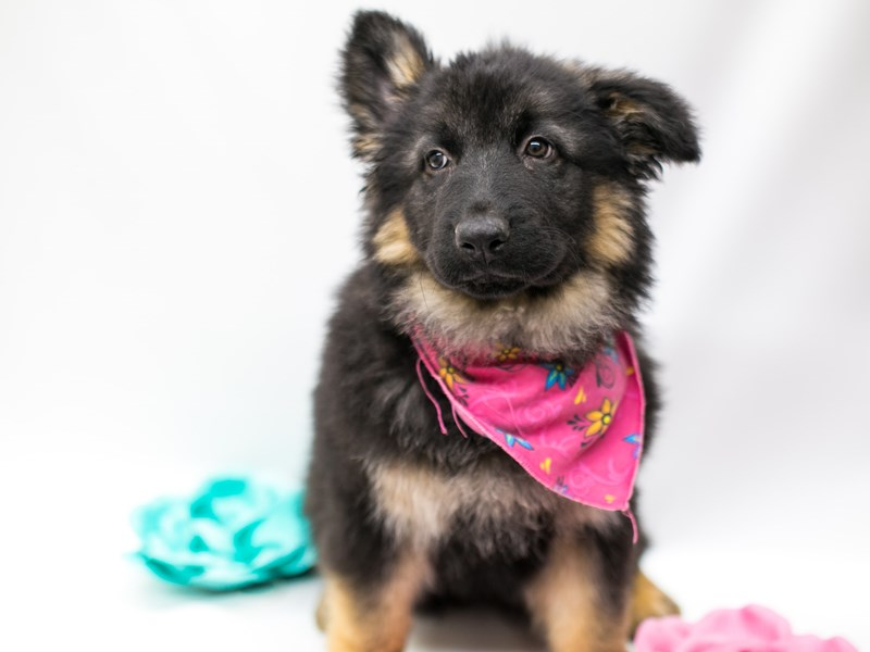 German Shepherd-Female-Black and Tan-2620313-Petland Wichita, KS