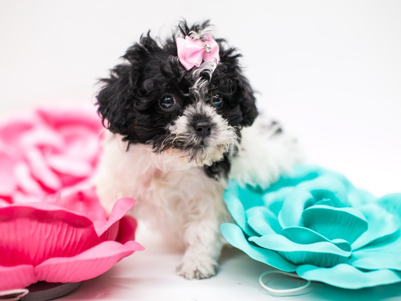 Shih Poo-Female-Black & White-2620261-Petland Wichita, KS