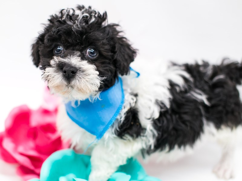 Shih Poo-DOG-Male-Black & White-2620250-Petland Wichita, KS