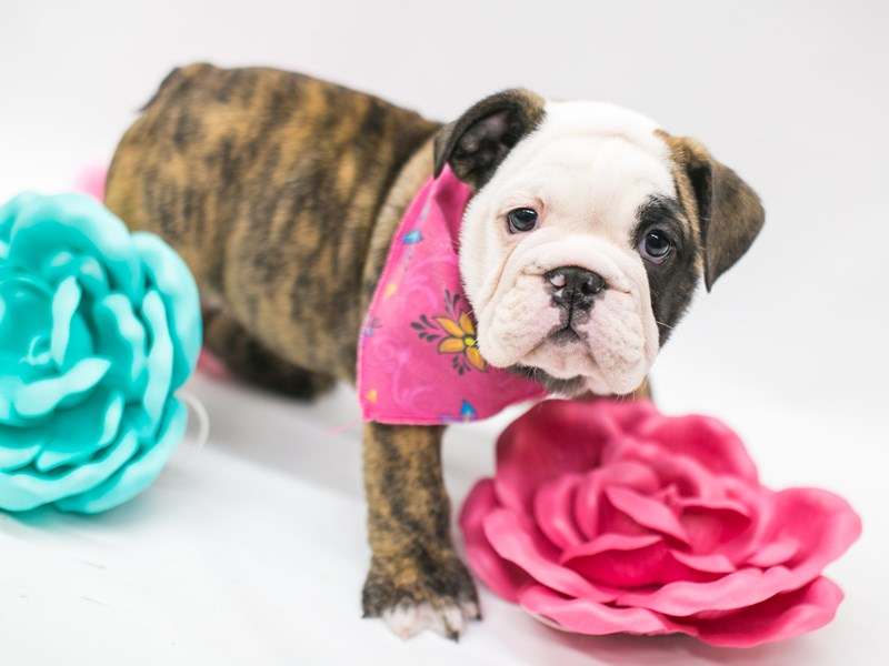 English Bulldog-DOG-Female-Brindle-2627024-Petland Wichita, KS