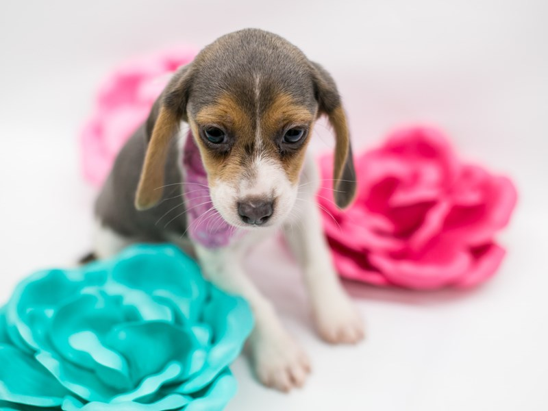Beagle-DOG-Female-Blue White & Tan-2627006-Petland Wichita, KS