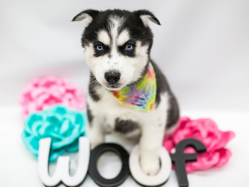 Siberian Husky-Male-Black & White-2626966-Petland Wichita, KS