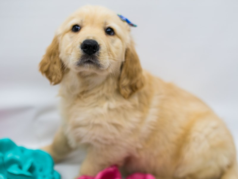 Golden Retriever-DOG-Female-Golden-2626706-Petland Wichita, KS