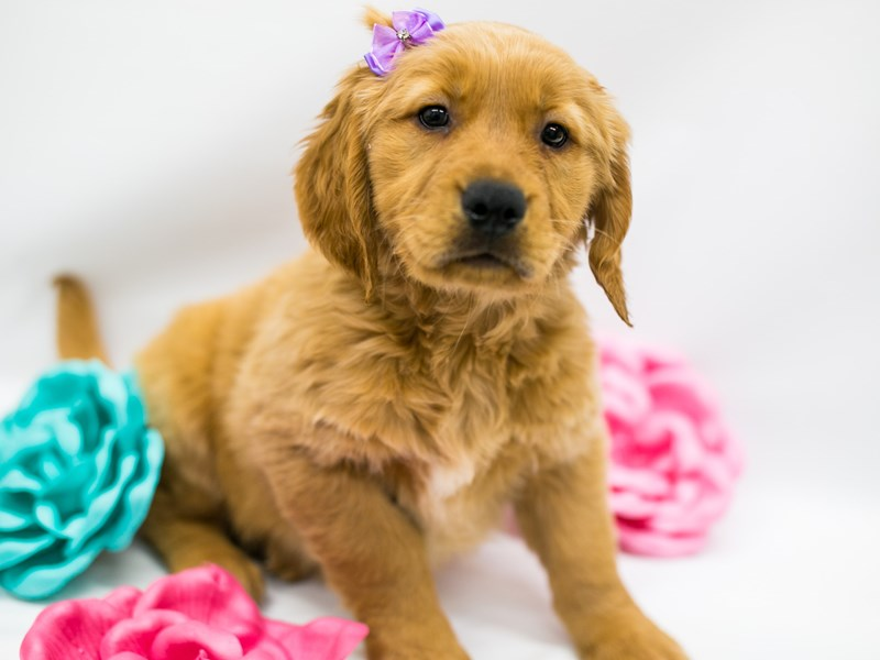 Golden Retriever-Female-Golden-2626703-Petland Wichita, KS