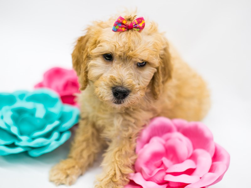 F1B Goldendoodle-Female-Apricot-2626656-Petland Wichita, KS