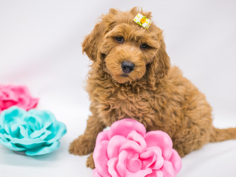 F1B Goldendoodle-Female-Red-2626654-Petland Wichita, KS